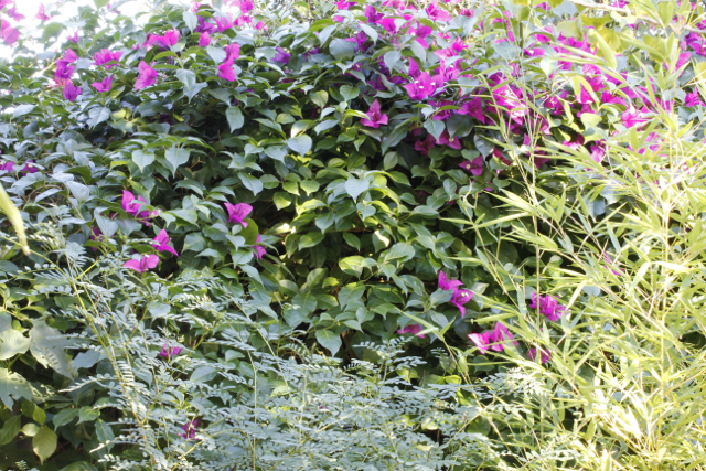 bougainvillea_hedge