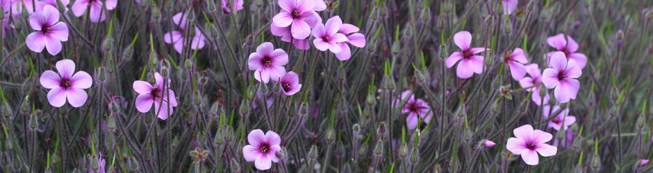 copy-geranium.jpg